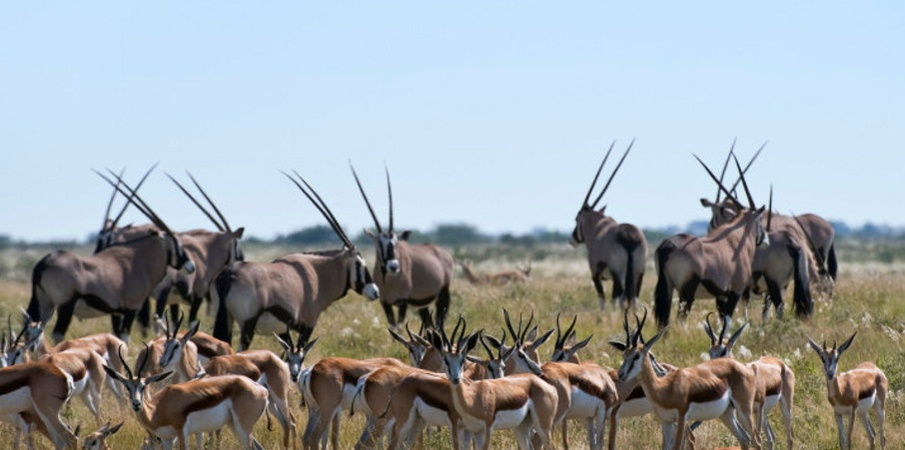 kudus and gazelles